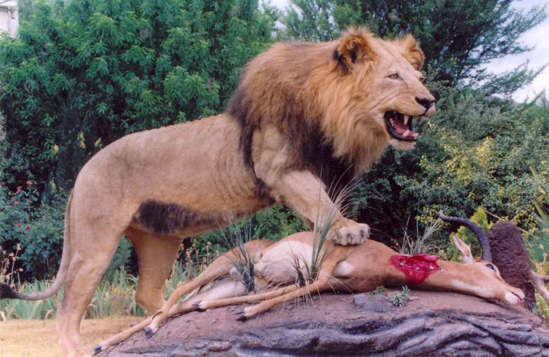 Lion & Impala
